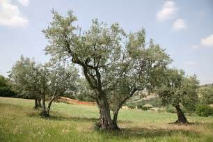 cost of olive trees olive oil prices under threat from bacteria hitting trees in italy daily mail online