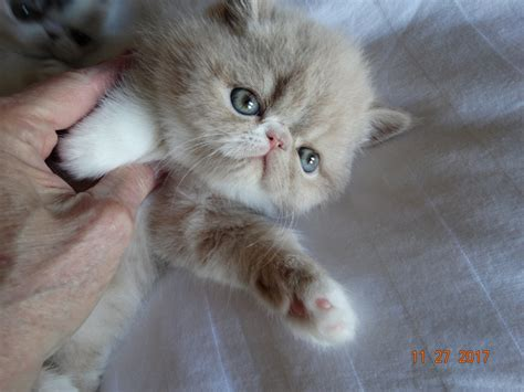 Exotic Shorthair Cats For Sale | Springdale, AR #255323