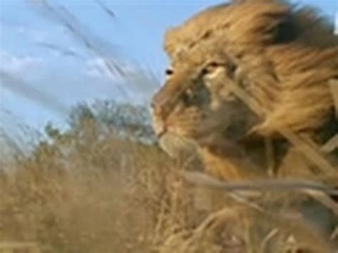 lions maneaters youtube