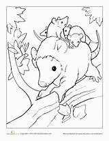 Opossum Coloring Pages Animals Baby Education Babies Mother Colors Worksheet Together Opossums Nature American Animal Little Wildlife Some Through Drawing sketch template