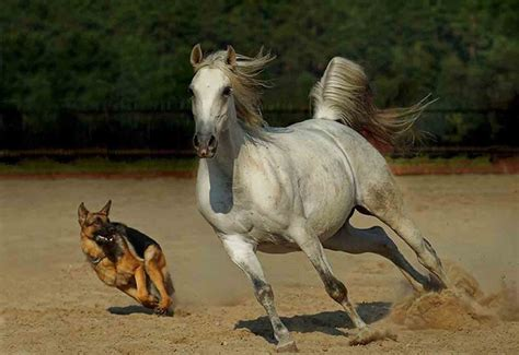 horses dogs horse dog conflict chasing scared avoiding tenerifenews rider nervous tenerife problems seen never before