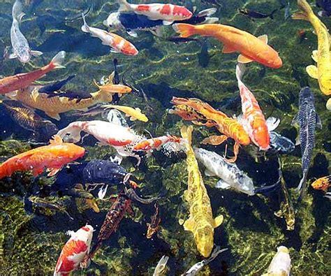 koi fish beautiful pond zen fish animal pictures