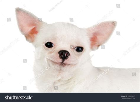 Smiling Chihuahua Looking At Camera Isolated On A White ...
