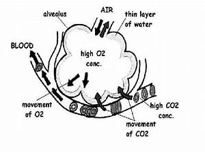 Respiration Worksheet Answers