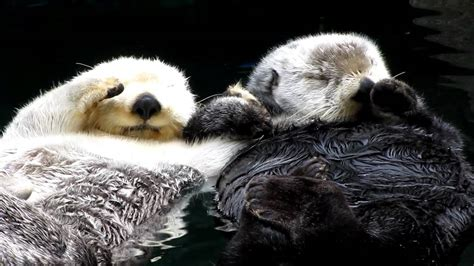 otters holding hands super cute youtube