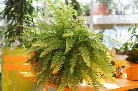 felce da appartamento cura  coltivazione garden