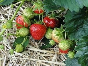 Erdbeeren Richtig Pflanzen : erdbeeren pflanzen tipps zur richtigen pflege und ernte ~ Lizthompson.info Haus und Dekorationen