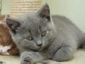 shorthair cat for kitten nganu