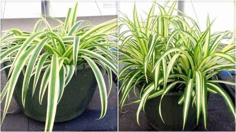 tanaman hias menyehatkan bibit