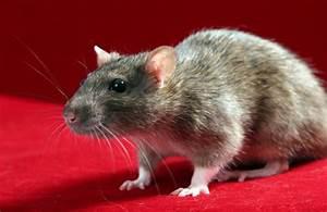 Comment Se Debarrasser Des Rats : comment faire pour se d barrasser des rats taupier sur la france ~ Melissatoandfro.com Idées de Décoration