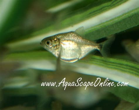 Related Keywords & Suggestions For Small Piranhas