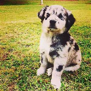 Is The Australian Shepherd Lab Mix Really One Of The Best ...