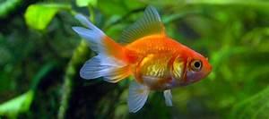 Successful Goldfish Keeping  More Challenging  U0026 Rewarding