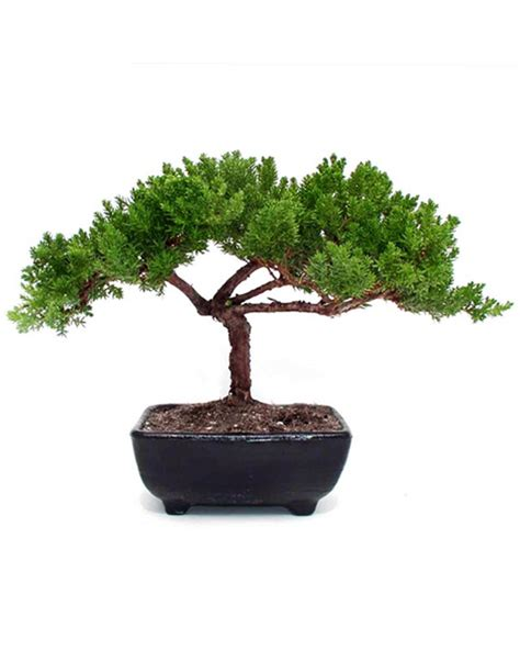 indoor small trees small juniper bonsai indoor office plants by plant type givingplants com