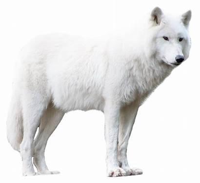 Wolf Transparent Pluspng Pngpix 1600 Purepng Resolution
