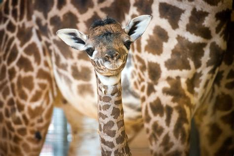 Baby Giraffe Takes First Steps Picture