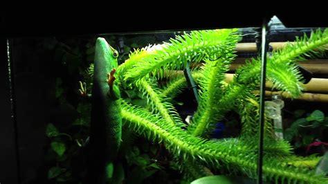 giant day gecko vivarium youtube