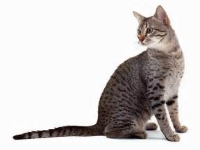 cat breeds a z cat breeds a to z cats types