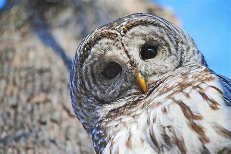 barred owls     kill  audubon