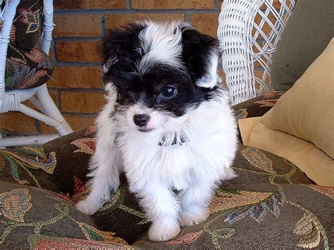 chihuahua poodle mix chi poo doggonedoodles cute