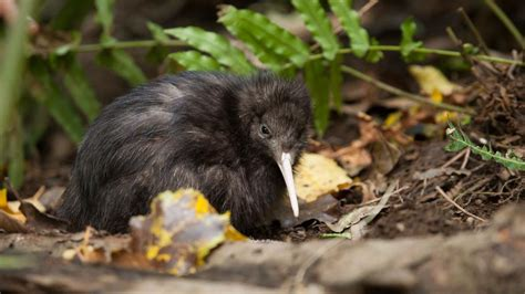 kiwi birds facts nz native zealand symbol brown kapiti island