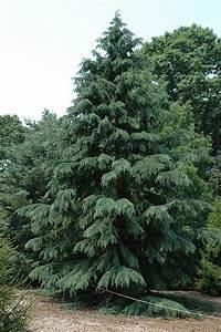 Deodar Cedar (Cedrus deodara) in Vancouver Victoria
