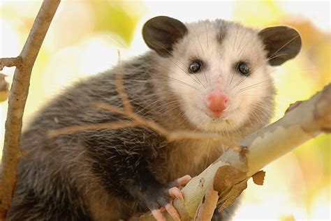 Possum Backyard by 6 Animals You May Encounter In Your Backyard And What To