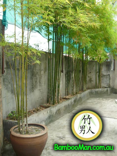 growing bamboo in containers thai silk bamboo bambusa nana bamboo whitsunday 4105