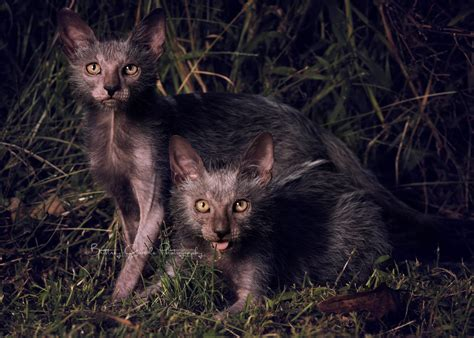 Werewolf Cats Do We Need Another Breed?  Life With Cats