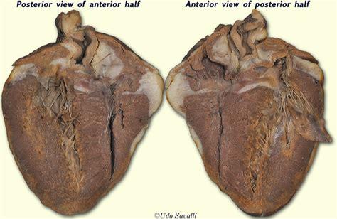 bio sheep heart