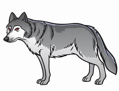Wolf Loup Grey Gris Premium Freepik