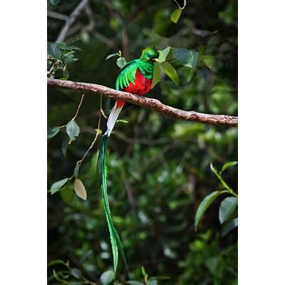 Resplendent QuetzalPublish with Glogster!