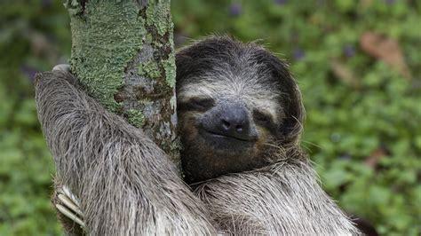 50 Bing Sloth Wallpaper On Wallpapersafari