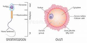 Structure Of Human Gametes   Egg And Sperm Stock