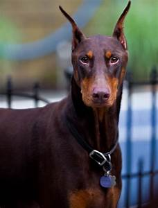 The dog in world: Doberman Pinscher dogs (Dobe)