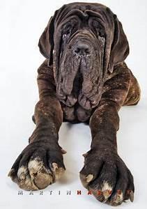 neapolitan mastiff wow so much extra extra shut the With mastiff dog door