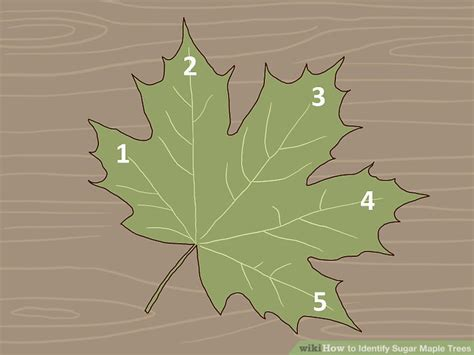 how to shape a maple tree 3 ways to identify sugar maple trees wikihow