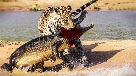 jaguar attacks  eats crocodile  youtube