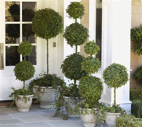 topiary trees live live ivy triple ball topiary pottery barn