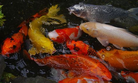 carpe koi en aquarium free photo aquarium fish colored carp koi free image on pixabay 1447298