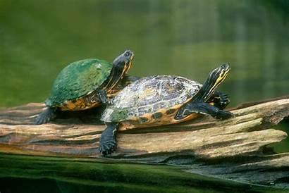 Turtle Wallpapers Background Pixelstalk Widescreen Wallpaperplay Wiki