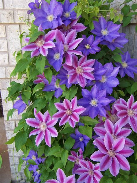 Clematis Wallpapers, Earth, Hq Clematis Pictures 4k