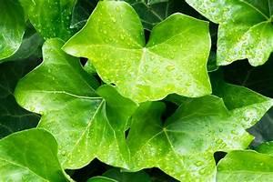 Wie Schnell Wächst Efeu : pflanzen die die luft reinigen und die raumenergie verbessern homeogarden ~ Orissabook.com Haus und Dekorationen