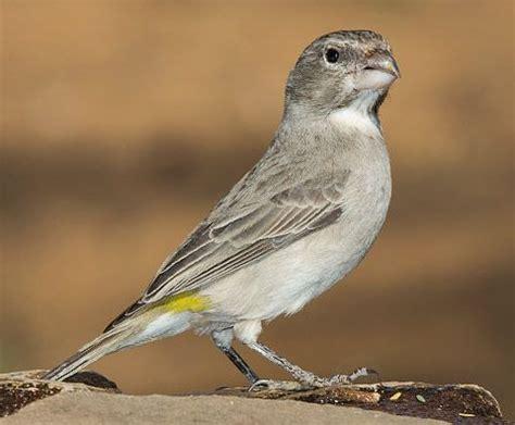 White-throated Canary - Angola, Botswana, Lesotho, Namibia ...