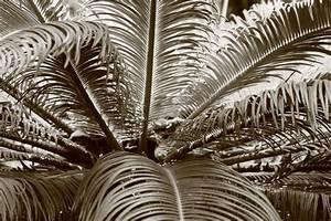 Palme Schwarz Weiß : palme schwarz wei foto bild pflanzen pilze flechten b ume palmen bilder auf fotocommunity ~ Eleganceandgraceweddings.com Haus und Dekorationen