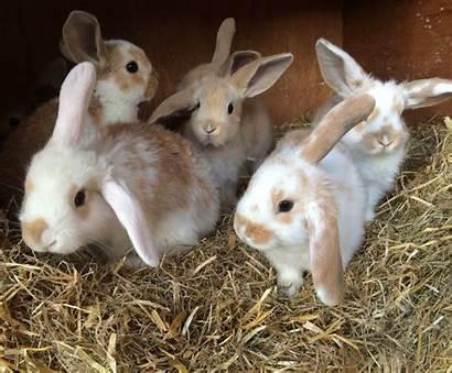 Lop Rabbits Eared Adorable Newquay Mini Pets4homes