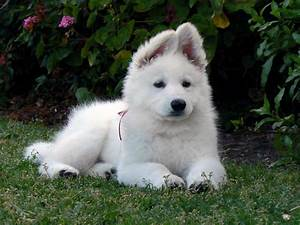 American White Shepherd - Puppies, Rescue, Pictures ...