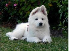 American White Shepherd Puppies, Rescue, Pictures