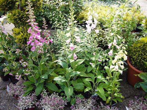perennial bushes gardening world limited bedding plants perennials