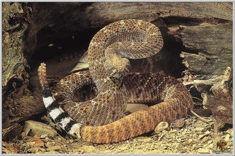 e3a2a93c597 Diamondback Rattlesnake Boots - Yamsixteen